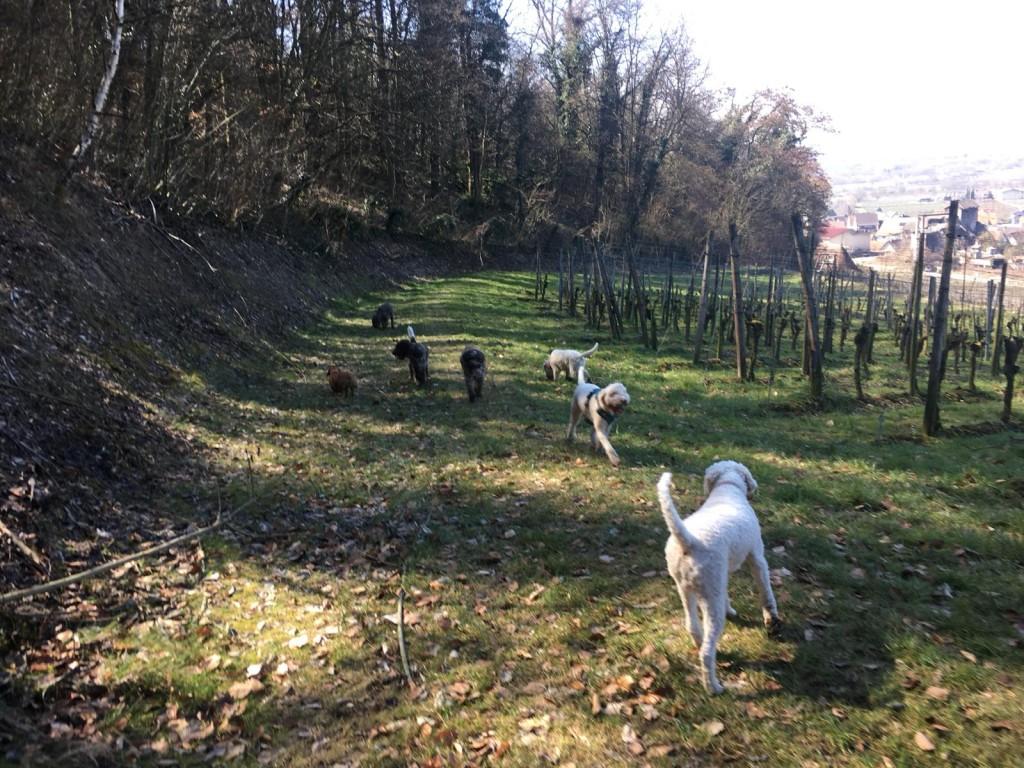 unsere Hunde erobern die Rebenhänge