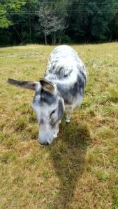 angrifflustige Esel