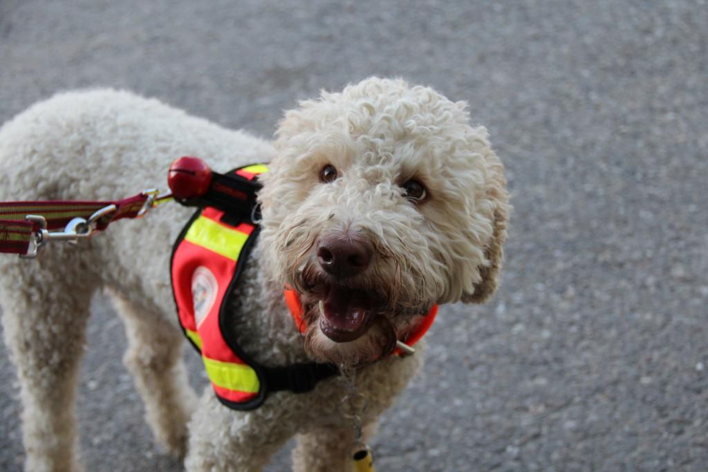 Calypso im Training von der Hunderettungstaffel